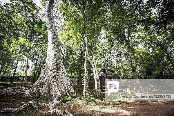 A big tree near gate of Angkor Thom complex (Siem Reap Province  Cambodia).