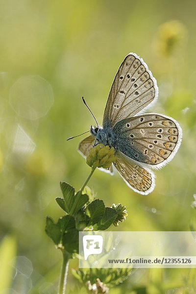 Common Blue (Polyommatus icarus )  on a summery spring morning  with open wings  taken from underneath  light-flooded in backlight  Europe.