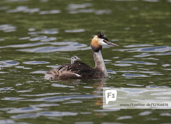 Great Crested Grebe (Podiceps cristatus) with chicks  Vastervik  Smaland  Sweden