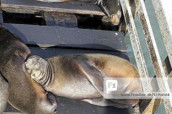 Sea lions resting  Santa Cruz Wharf  Santa Cruz  California  United States. RM.