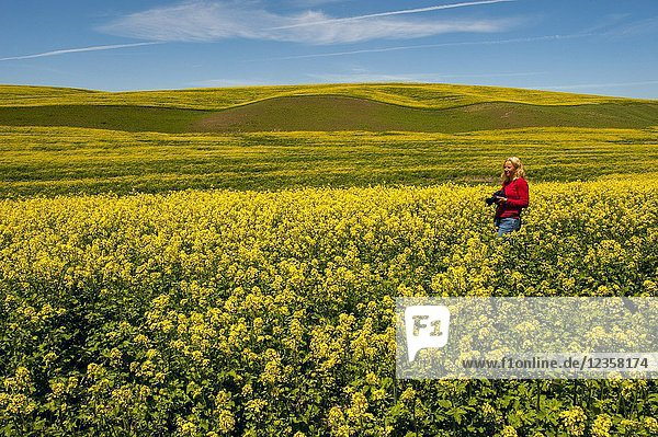 Woman (Model Release20120615) photographing mustard field in the Palouse near Colfax,  Eastern Washington State,  USA.