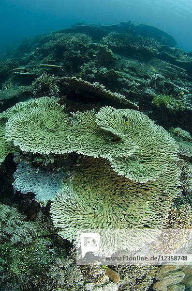 Large Table Coral (Acropora hyacinthus)  Outer Reef dive site  Atauro Island  near Dili  East Timor (Timor Leste).