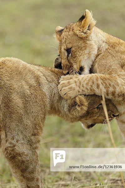 Lions playing. Panthera Leo. Kenia. Africa.