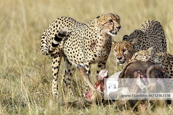 Cheetah eating a carcass. Acinonyx jubatus. Kenia. Africa.