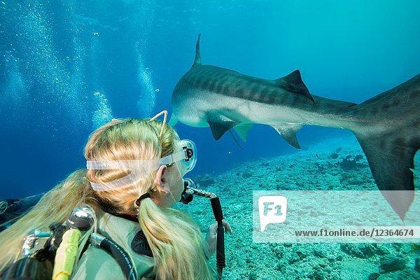Female scuba diver looks at a Tiger Shark (Galeocerdo cuvier),  Fuvahmulah island,  Indian Ocean,  Maldives
