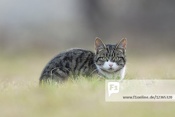 Felis silvestris catus / Domestic cat  Cat  with nice clear eyes lying in grass  watching to the photographer.
