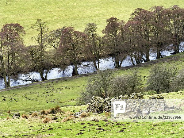 Trees by the River Nidd in early sping near Pateley Bridge Nidderdale North Yorkshire England.