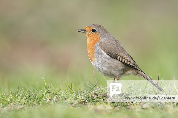 Robin Redbreast ( Erithacus rubecula ) sitting on the ground  singing its song  side view  typical garden bird in Europe  wildlife  Europe.