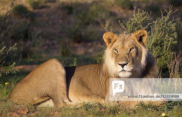 African lion (Panthera leo) -Young  Kgalagadi Transfrontier Park  Kalahari desert  South Africa/Botswana.