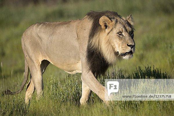 African lion (Panthera leo) -Male  Kgalagadi Transfrontier Park  Kalahari desert  South Africa/Botswana..