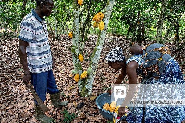 Farmer harvesting cocoa in his plantation.