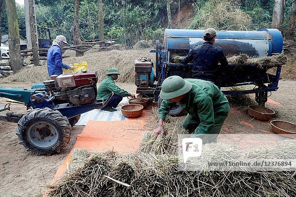Rice workers feed their freshly harvested rice into a threshing machine.