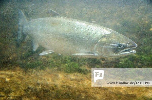 USA  WA  Seattle. Ballard Locks. Sockeye salmon swimming through the fish ladder.