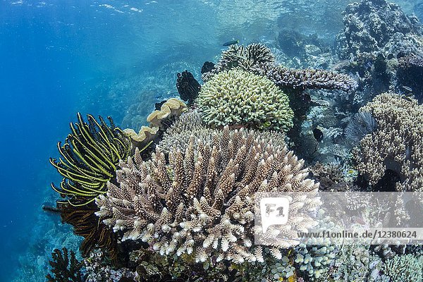 Profusion of hard and soft corals  crinoids  and reef fish underwater at Batu Bolong  Komodo National Park  Flores Sea  Indonesia.