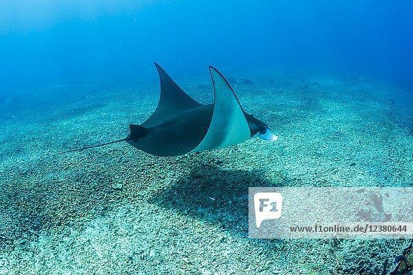 An adult manta ray  Manta birostris  at Makaser  Komodo National Park  Flores Sea  Indonesia.