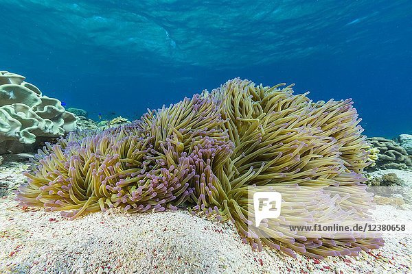 Profusion of hard and soft corals and anemone underwater on Mengiatan Island  Komodo National Park  Flores Sea  Indonesia.