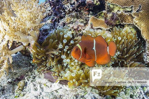 Adult female spinecheek anemonefish  Premnas biaculeatus  Sebayur Island  Komodo National Park  Flores Sea  Indonesia.