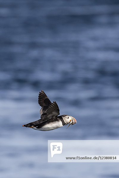 Adult Atlantic puffin  Fratercula arctica  in flight with fish in its bill  Snæfellsnes Peninsula  Iceland.
