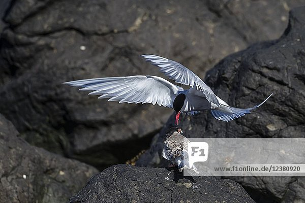 Adult Arctic tern  Sterna paradisaea  returning from the sea with fish for its chick on Flatey Island  Iceland.