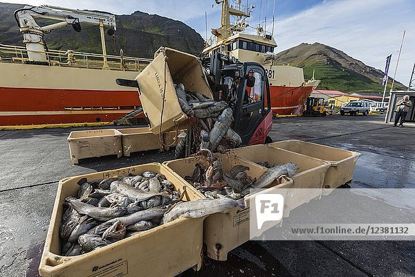 Sorting fresh caught fish in Siglufjörður  Siglufjordur  off the north coast of Iceland.