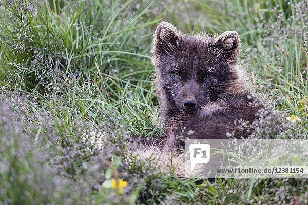 A rehabilitated Arctic fox  Vulpes lagopus  in summer coat  Melrakkasetur Ã. slands  Iceland.