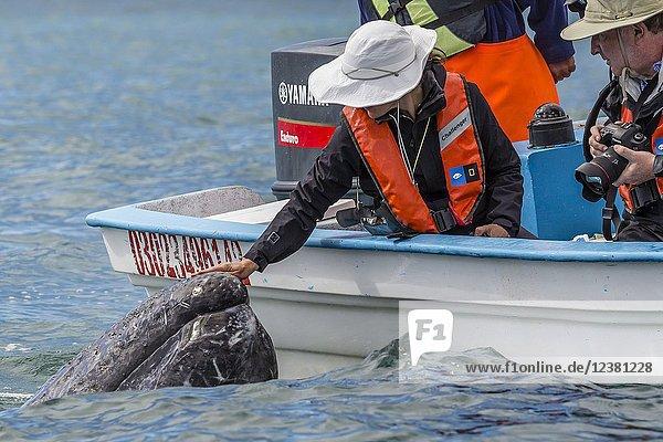 Adult California gray whale  Eschritius robustus  with tourists in San Ignacio Lagoon  Baja California Sur  Mexico.