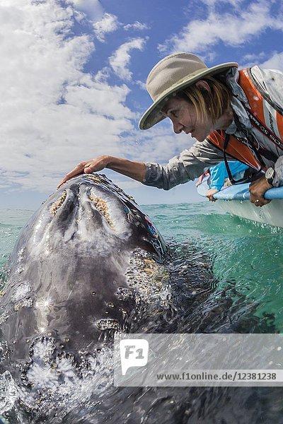 California gray whale calf,  Eschritius robustus,  with tourists in San Ignacio Lagoon,  Baja California Sur,  Mexico.