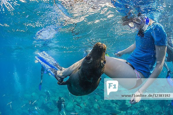 Playful California sea lion  Zalophus californianus  underwater with snorkeler at Los Islotes  BCS  Mexico.