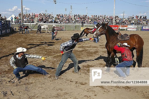 Cowboys catching a horse at the Valleyfield Rodeo  Valleyfield  Quebec Province  Canada  North America