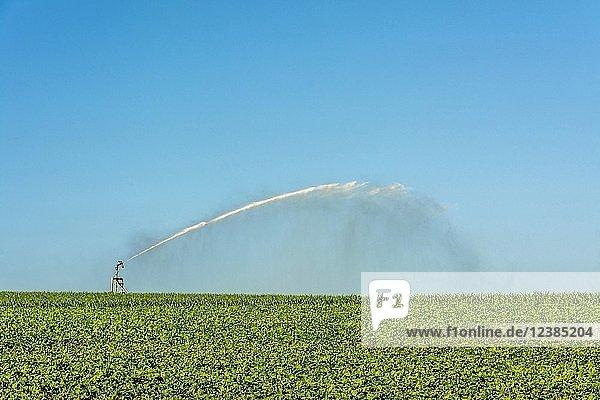 Bewässerungsanlage im Sonnenblumenfeld  Puy de Dome  Auvergne Rhone Alpes  Frankreich  Europa
