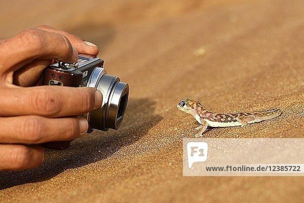 Palmato-Gecko wird fotografiert,  Namib-Wüste bei Swakopmund,  Namibia,  Afrika
