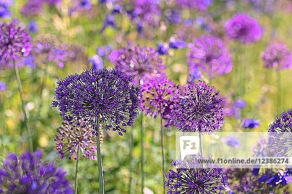 Lila Zierlauch (Allium cristophii)  Deutschland  Europa