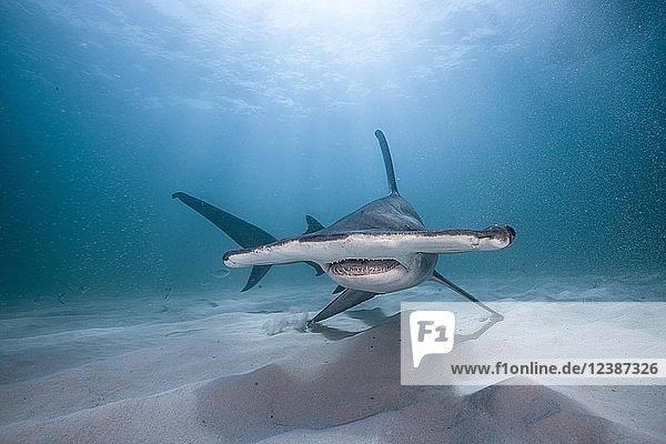 Great hammerhead shark (Sphyrna mokarran)  Bimini  Bahamas  Central America