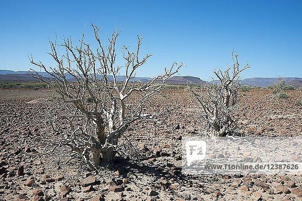Moringa ovalifolia Baum (moringa ovalifolia) in karger Landschaft  Damaraland  Namibia  Afrika