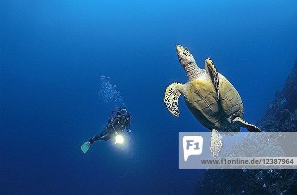 Diver and Hawksbill sea turtle (Eretmochelys imbricata)  Cozumel  Yucatan  Mexico  Central America