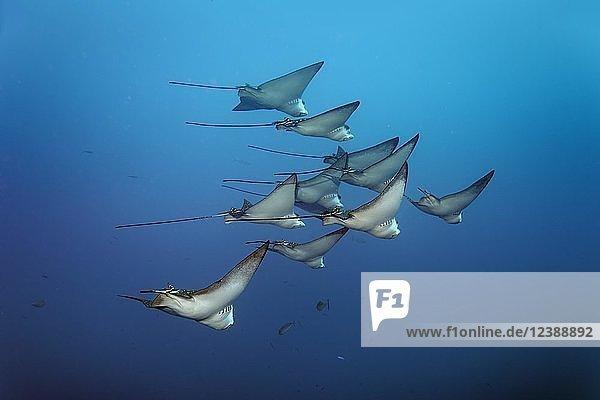 Schwarm Gefleckter Adlerrochen (Aetobatus narinari)  Indischer Ozean  Malediven  Asien