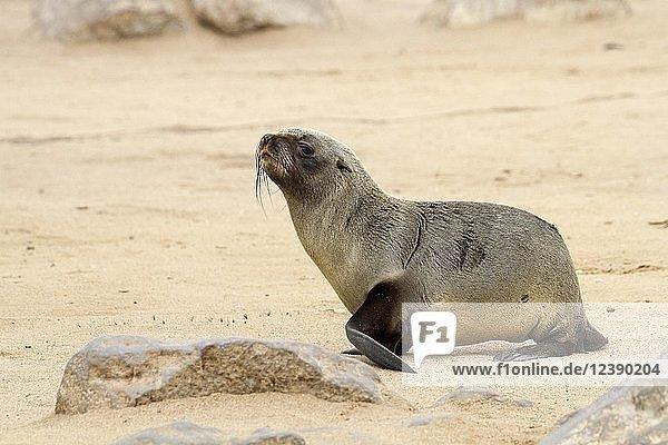 Südafrikanischer Seebär (Arctocephalus pusillus)  Jungtier  laufend  Cape Cross Seal Reserve  Kreuzkap  Namibia  Afrika