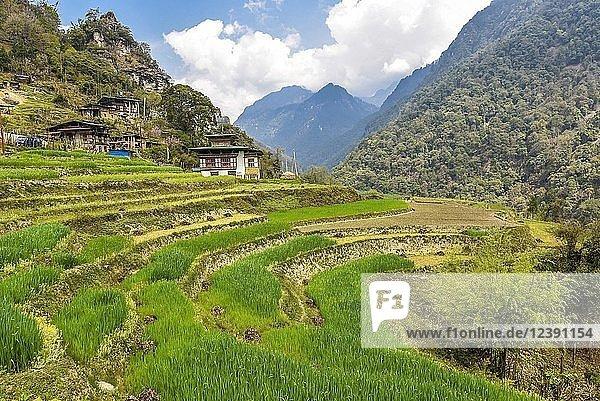 Bauernhaus mit Reisfeldern in Berglandschaft  nahe Gasa  Himalaya-Region  Bhutan  Asien