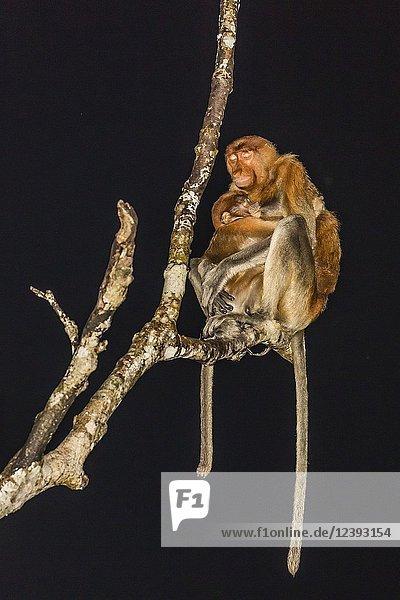 Female proboscis monkey  Nasalis larvatus  nursing young  Tanjung Puting National Park  Indonesia.