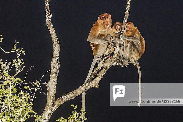 Proboscis monkeys  Nasalis larvatus  Tanjung Puting National Park  Indonesia.