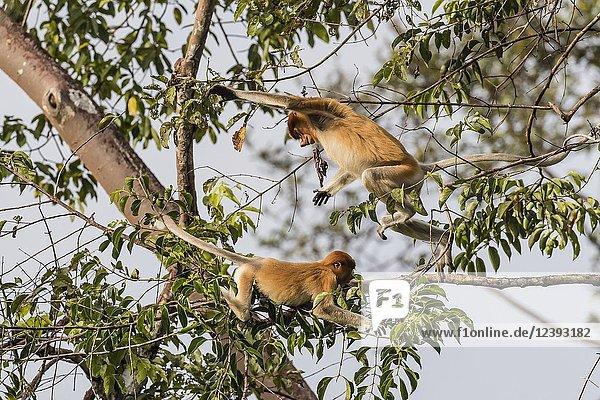 Young proboscis monkeys  Nasalis larvatus  Tanjung Puting National Park  Borneo  Indonesia.
