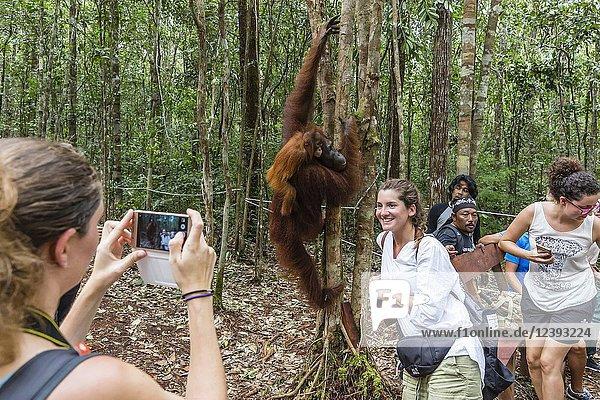 Mother and baby Bornean orangutan  Pongo pygmaeus  at Camp Leakey  Borneo  Indonesia.