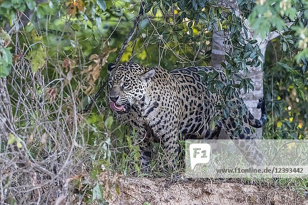 An adult female jaguar,  Panthera onca,  on the riverbank of Rio Tres Irmao,  Mato Grosso,  Brazil.