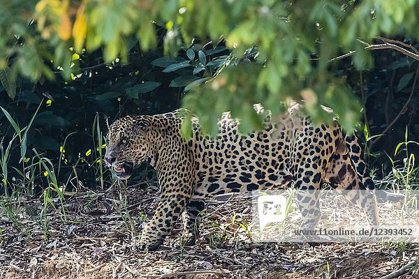 An adult male jaguar  Panthera onca  on the riverbank  Rio Tres Irmao  Mato Grosso  Brazil.