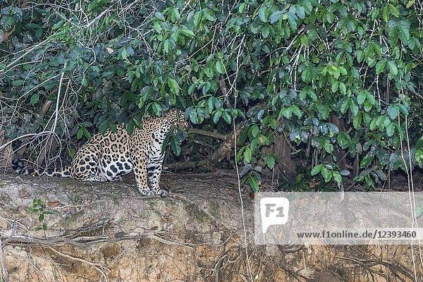 An adult female jaguar  Panthera onca  at twilight  Rio Negro  Mato Grosso  Brazil.
