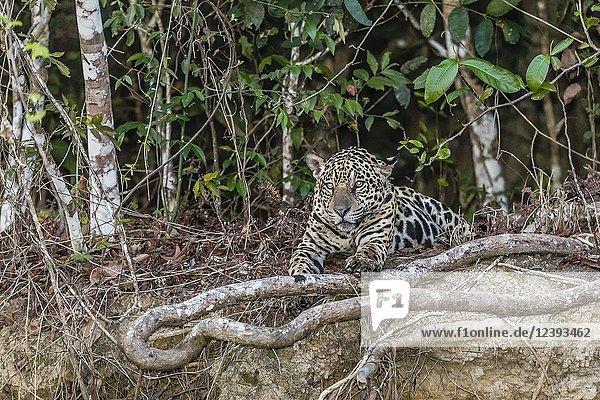 An adult jaguar  Panthera onca  at twilight  Rio CuiabaÌ.   Mato Grosso  Brazil.