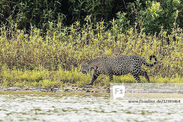 An adult male jaguar  Panthera onca  on the riverbank of the Rio Picuiri  Mato Grosso  Brazil.