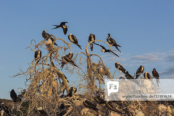 Magnificent frigatebirds  Fregata magnificens  San Gabriel Bay  Espiritu Santo Island  BCS  Mexico.