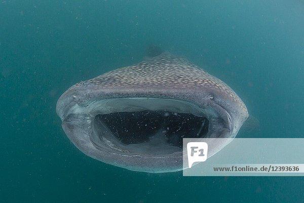 Whale shark  Rhincodon typus  filter feeding underwater off El Mogote  near La Paz  BCS  Mexico.