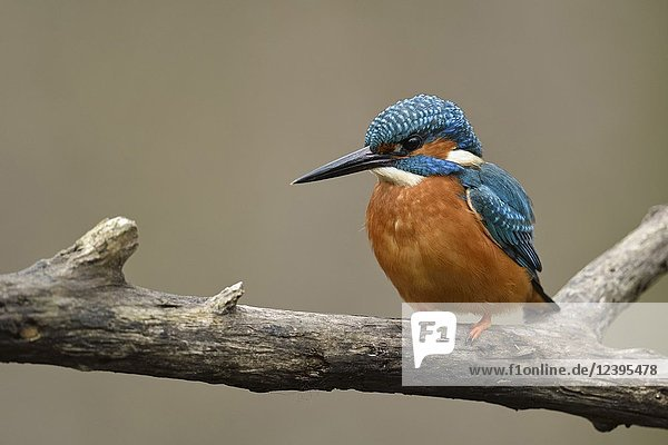 Eurasian Kingfisher ( Alcedo atthis )  male  black beak  orange breast  colourful  perched on a branch  detailled frontal view  wildlife  Europe.
